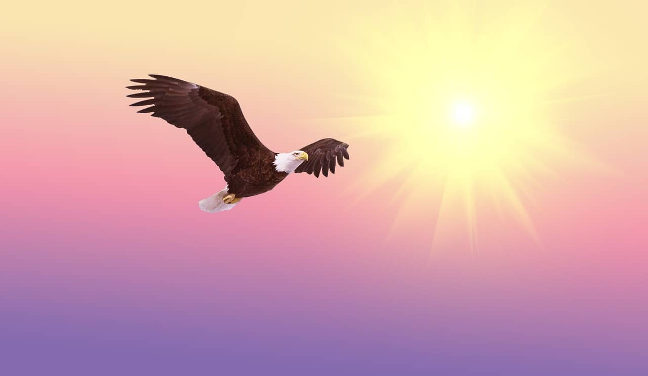 bald eagle, soaring, bird